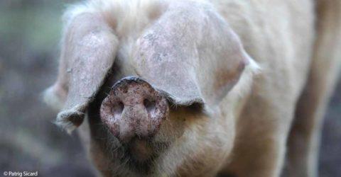 Porc Blanc de l'Ouest - Domaine de Menez Meur © Patrig Sicard