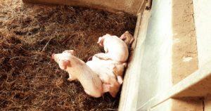 Porcelets Porcs blancs de l'Ouest - photo : Perrine Veguer