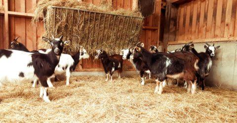 Chèvre des fossés - nouveau cheptel 2020 - photo : Perrine Veguer