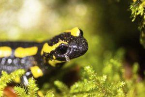 Salamandre © Raphaël Zaugra